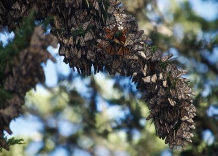 Monarch Cluster