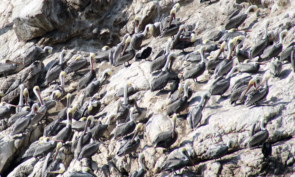 Brown Pelican colony off-shore at  Point Lobos State Natural Preserve .