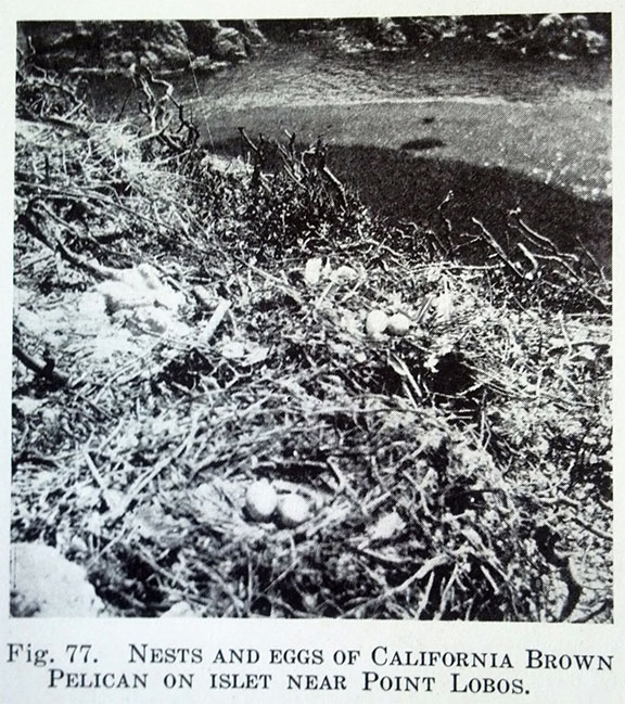 This is the first-ever photo of a California brown pelican nest near Point Lobos, published by Laidlaw Williams in a 1927 issue of The Condor. (Laidlaw Williams later helped to found the Monterey Audubon Society and served as its first president.)