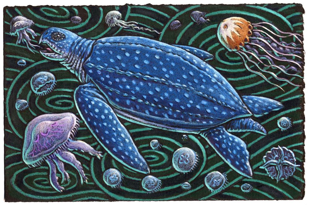 Leatherback turtles wearing backpacks Provide data for scientists to track They don't seem to mind They relax and unwind Gobbling jellies like wiggly little snacks.