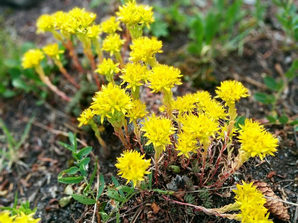 Sedum lanceolata - Host plant