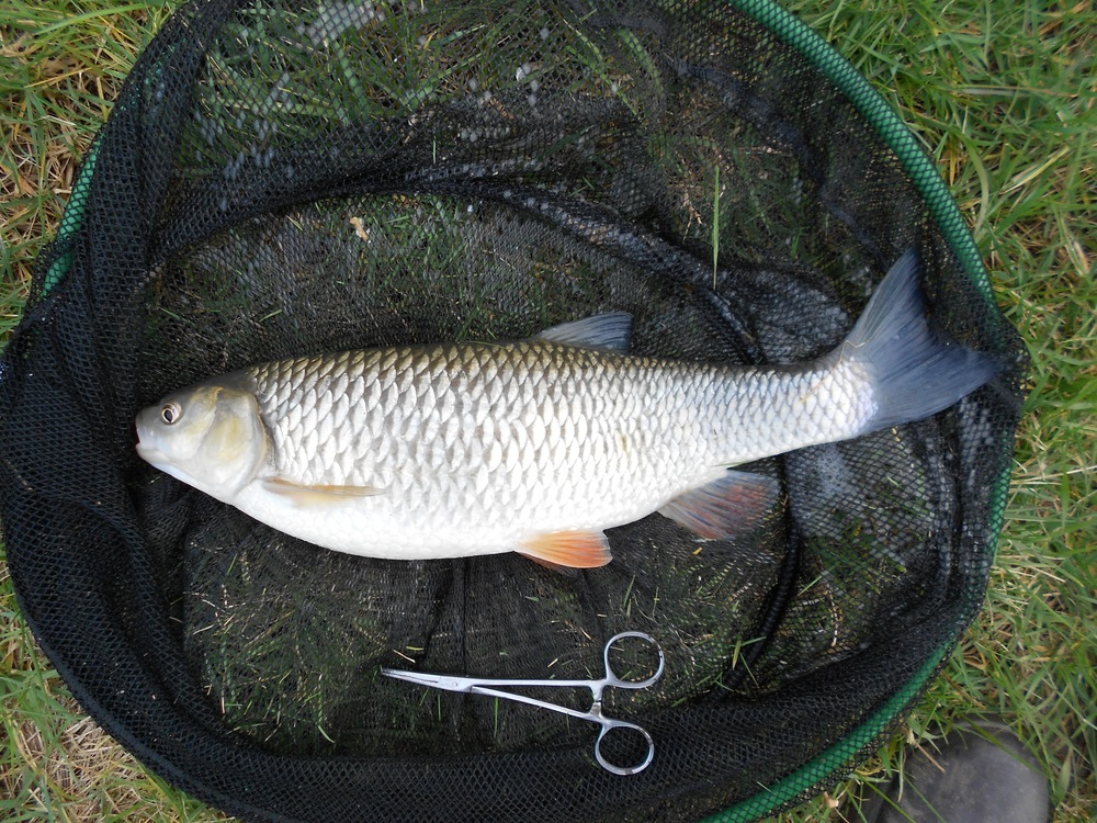 Lassington chub