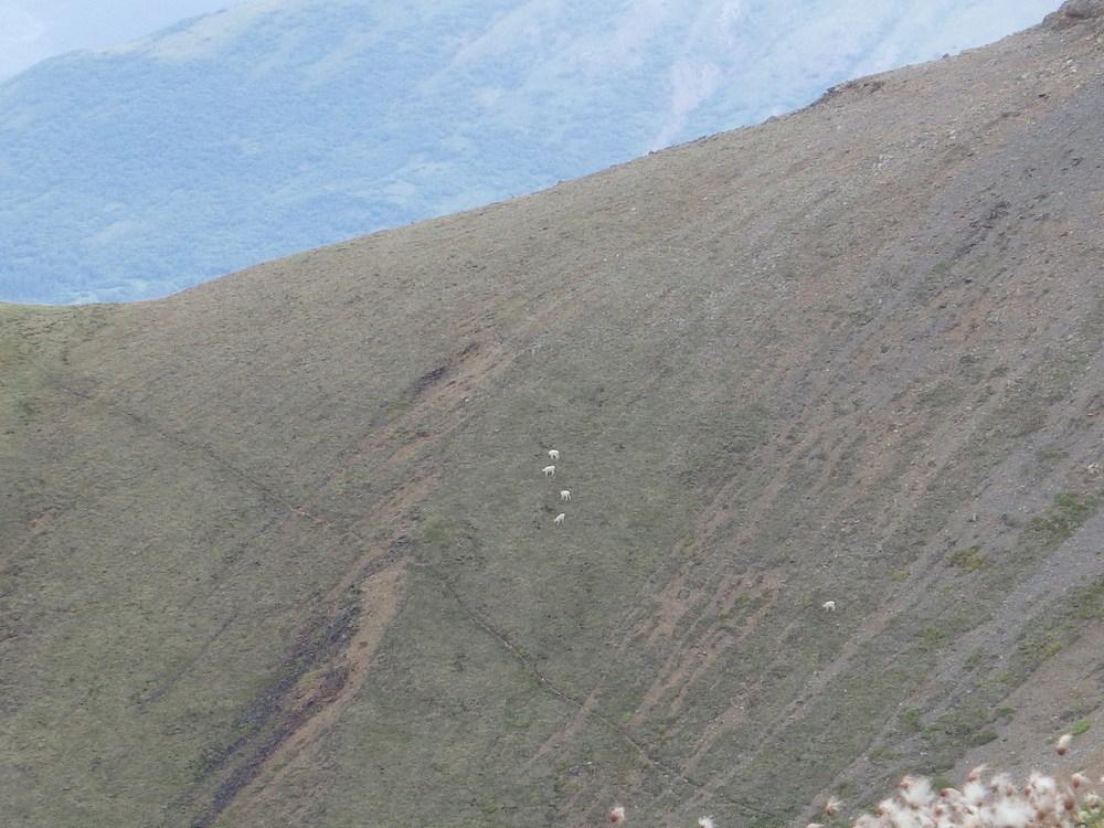 Группа овец и ягнят на склоне горы. Отчетливо видна баранья тропа.