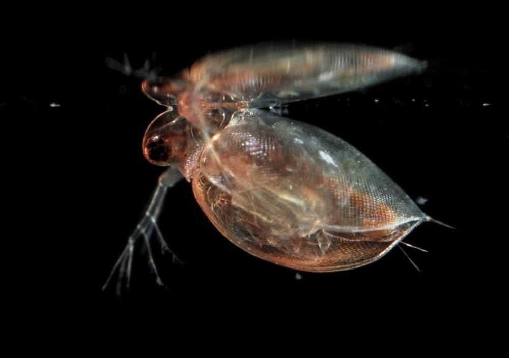 Daphnia pulex near the water's surface. Photo: J.-F. Cart
