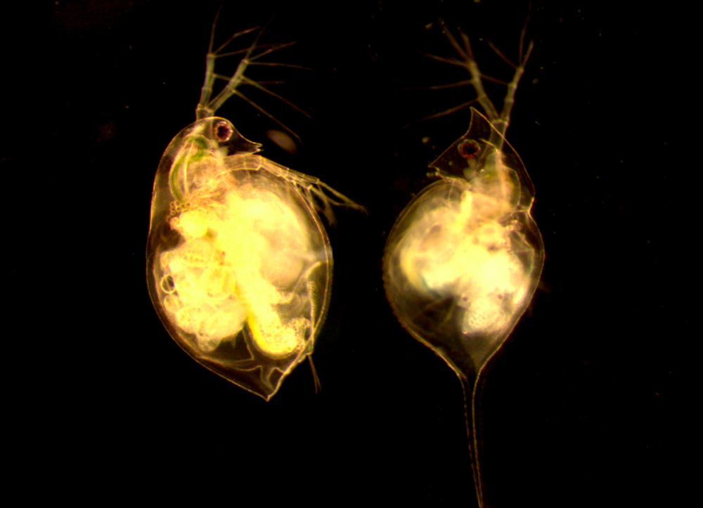 D. pulex (left) and D. lumholtzi (right)