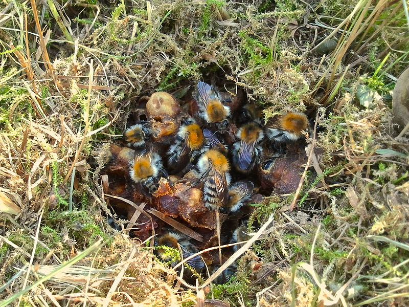 Natural Bumblebee Nest on the ground