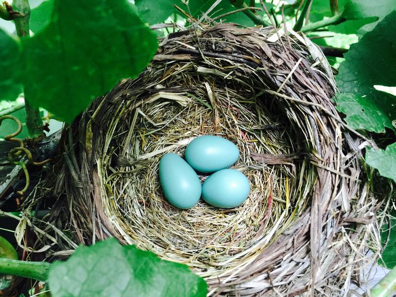American-robin-nest-betty-2nd-clutch-2015.jpg