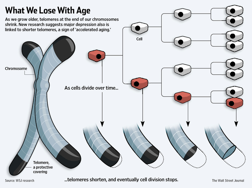 Chromosomes what we lose with age, telomeres shorten and cell division stops