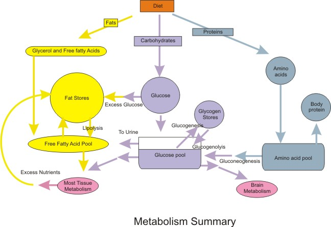 Metabolism infographic
