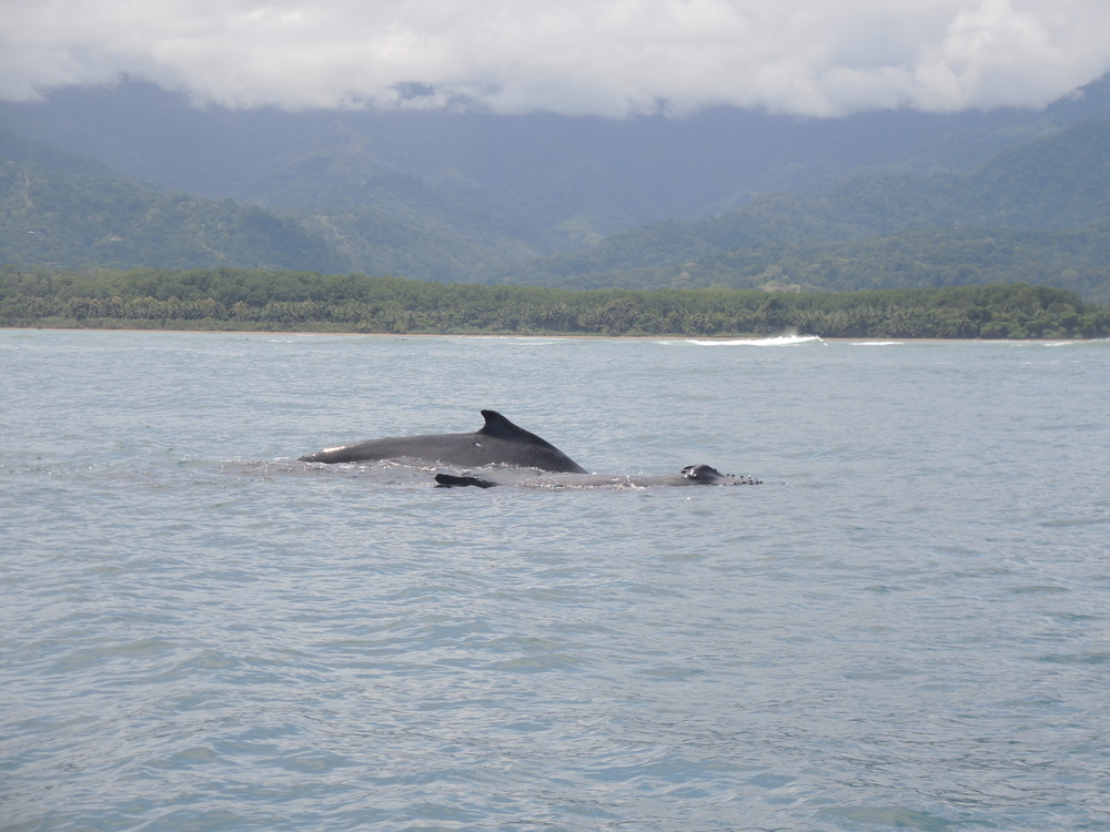 Humpback Whale, Mommy and Child