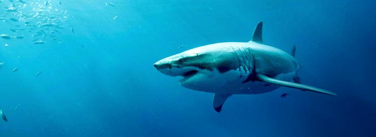 WW-QA-5-great-white-shark.jpg