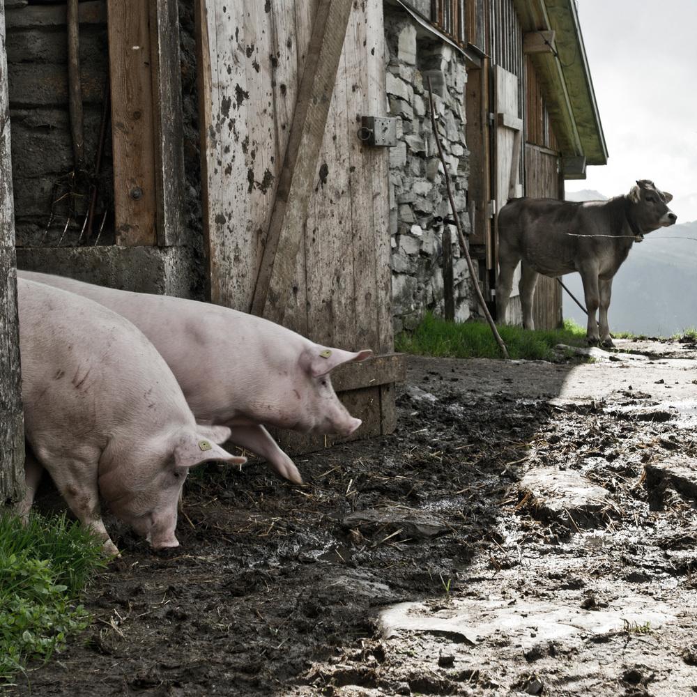 Schweine und Kalb Alp Hochybrig Schwyz