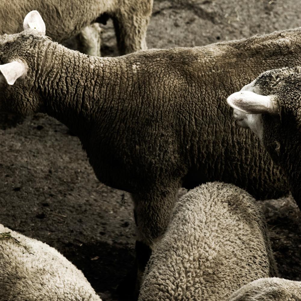 Schafe Schwyz
