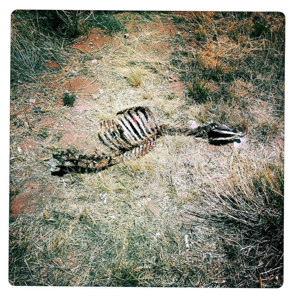 Cattle Cadaver beside the 186 AZ Arizona