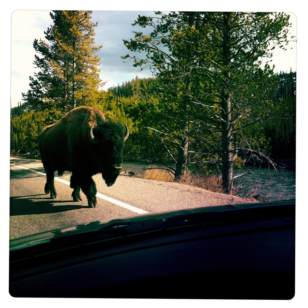 Bison at the Yellowstone National Park MN Montana