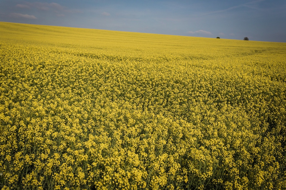 Bright vibrant yellow fields - Rick McEvoy - Dorset Photographer