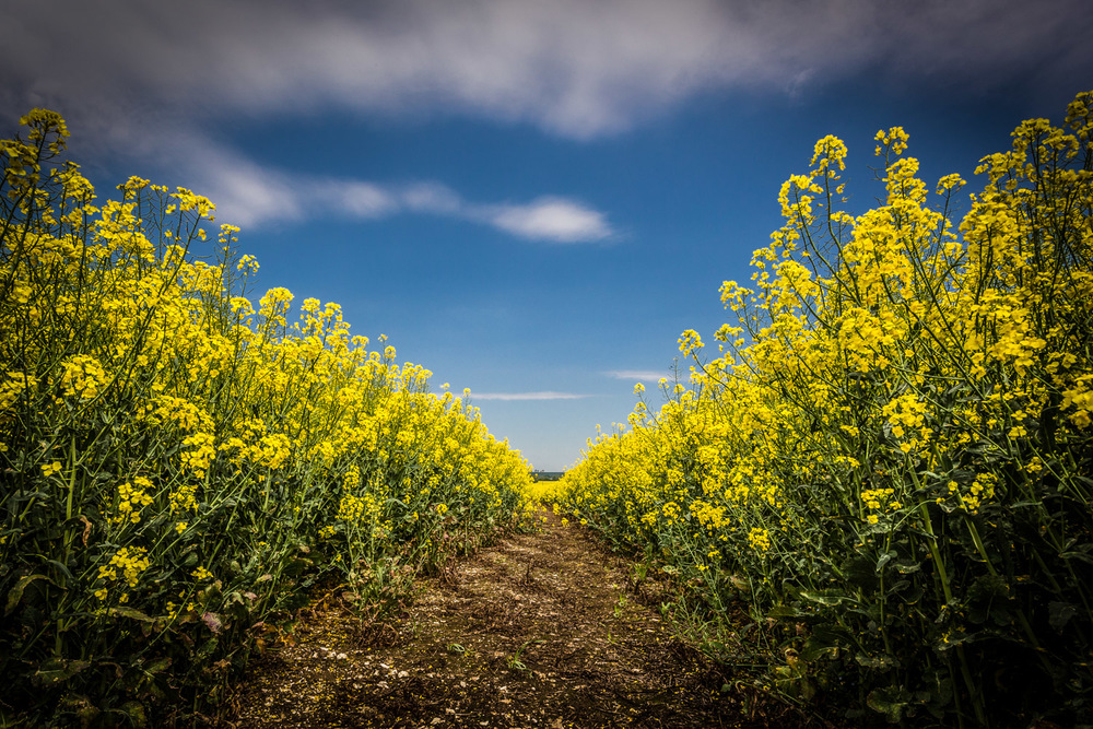 Hampshire Photography - Re-edit of the yellow field