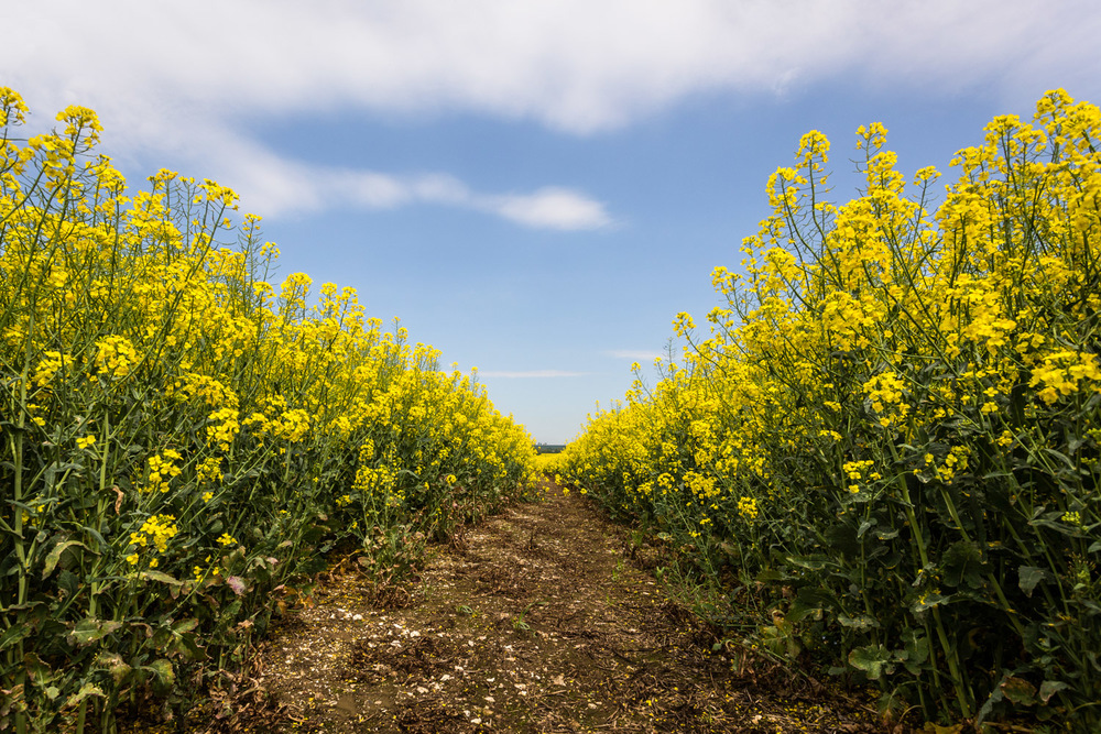 Yellow Field - original edit - Hampshire Photography by Rick McEvoy