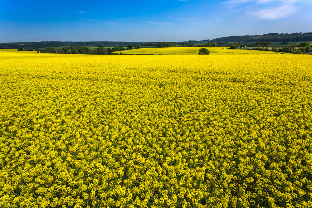 Yellow Field near Hambledon – the dramatic high level view!!.
