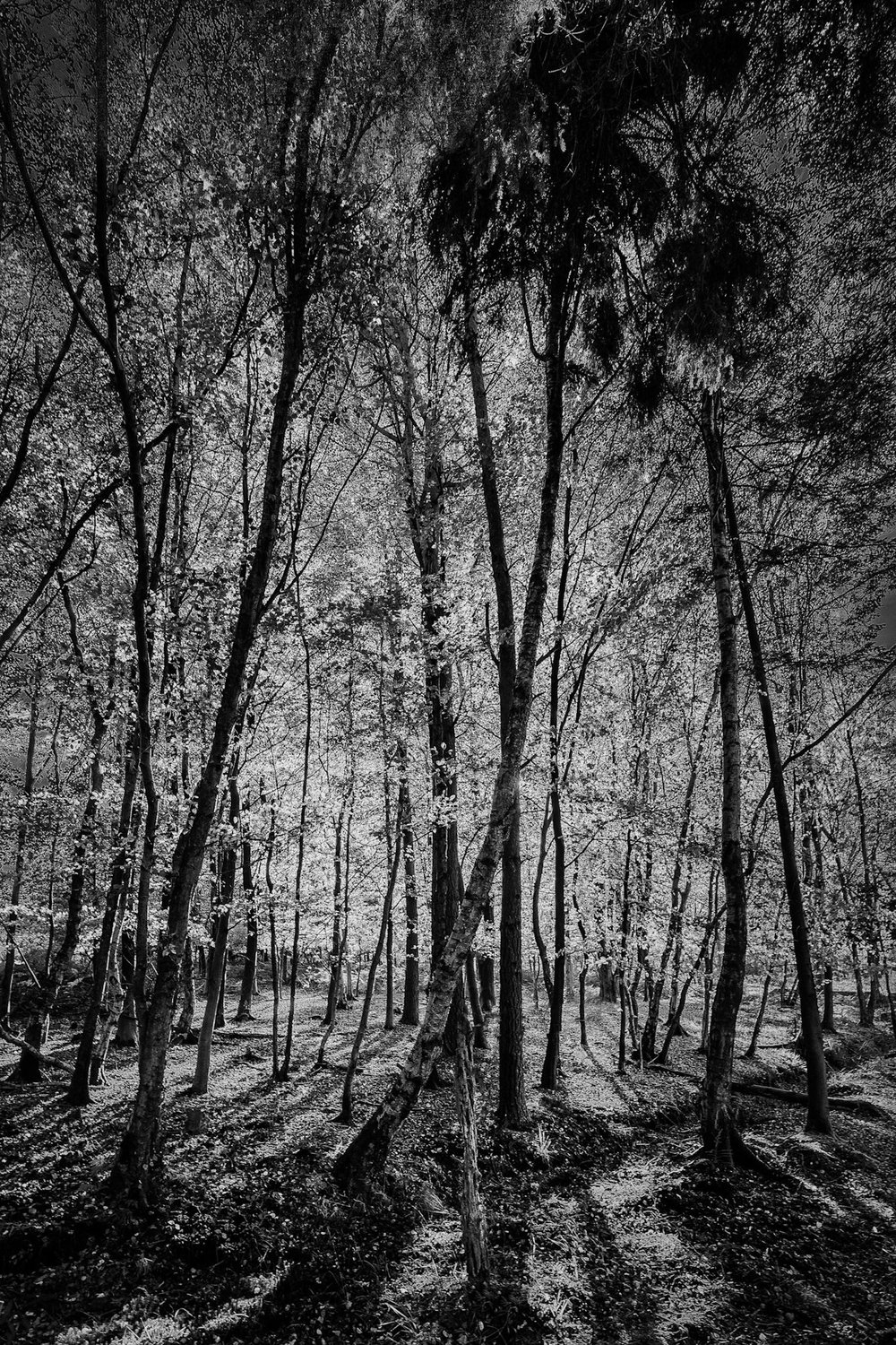 Picture of The New Forest in black and white