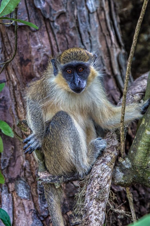Monkey in a tree at Sandy Lane Beach Resort Barbados.CR2