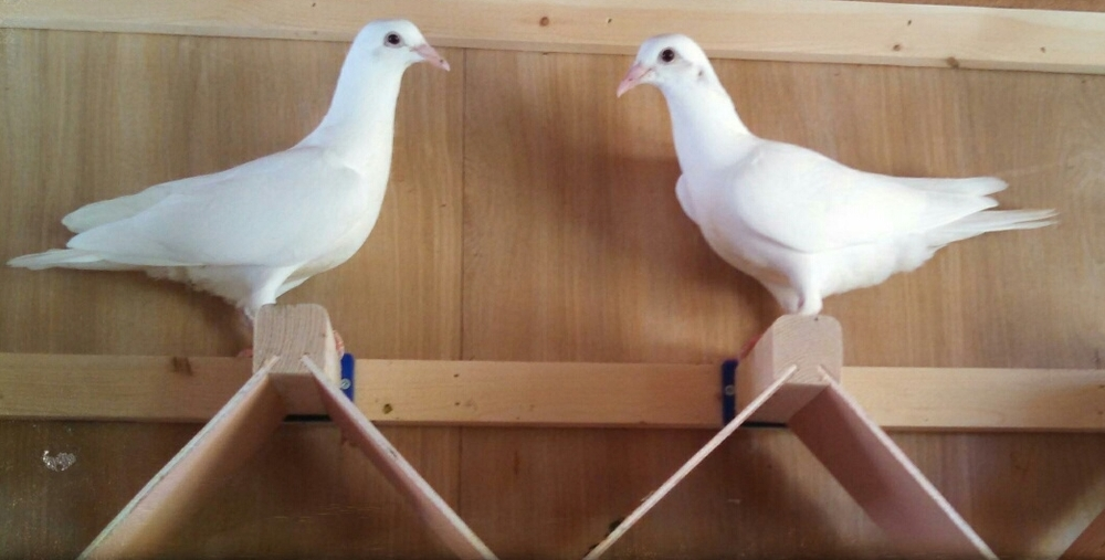 St_Louis_Doves_2.jpg