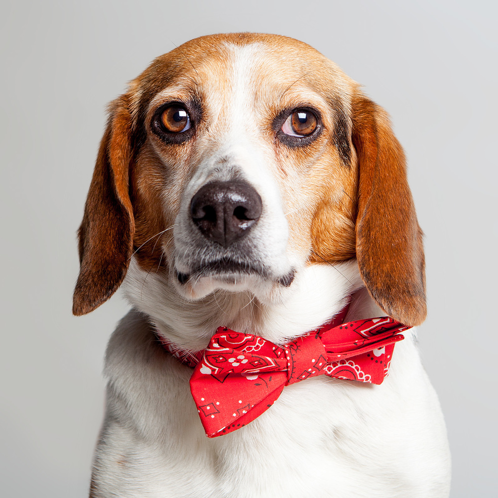 DILBERT in the TRAX | Bow Tie Collar in Red Bandana