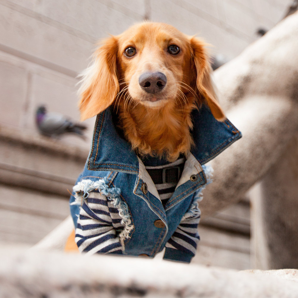 DOG & CO. | Cheeky Stripe Pullover  +  PETHAUS | Raw Denim Jacket