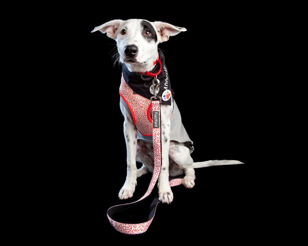 LISA, fka PERDITA | Hurricane Harvey rescue & former DOG & CO. shop Intern . Recently adopted from Muddy Paws Rescue. (FUZZYARD | Scramble Dog Harness, Scramble Dog Lead and the GOLD PAW | Santa Fe in Silver Grey)