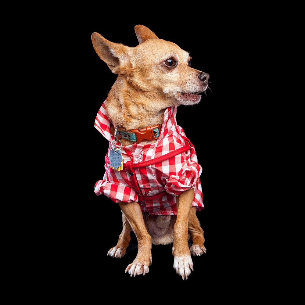 GARNET | Adoptable via PupStarzRescue! (in the FAB DOG | Plaid Button Down)