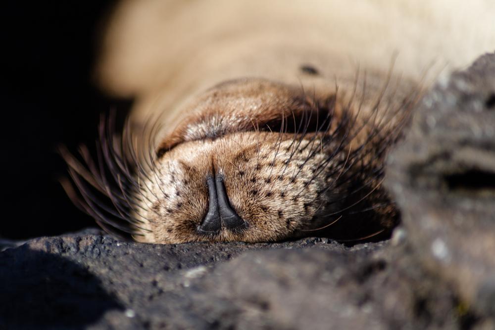 Galapagos fur seal, Galapagos
