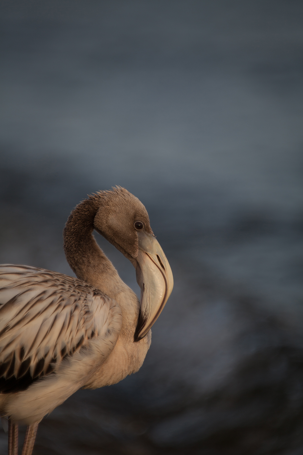 2015-06-14 Bonaire National Park & Baby Flamingo-27_sml.jpg