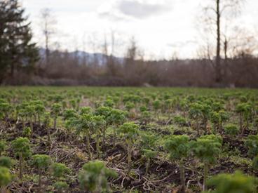 Recently harvested kale