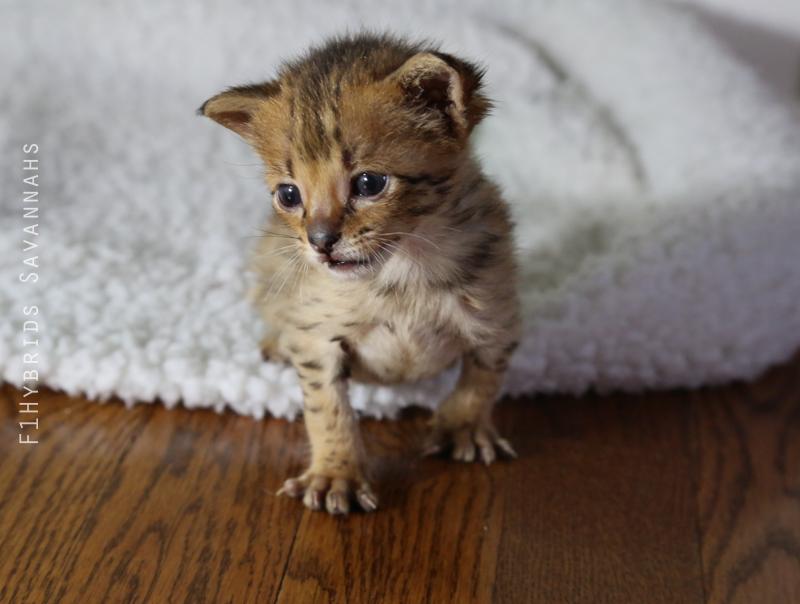 redford-spicys-f2-savannah-kitten-6.jpg