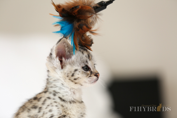 F1 Savannah Cat - Bevadere (Silver Color)