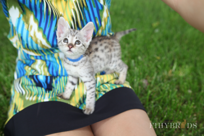 savannah-kittens-215.jpg