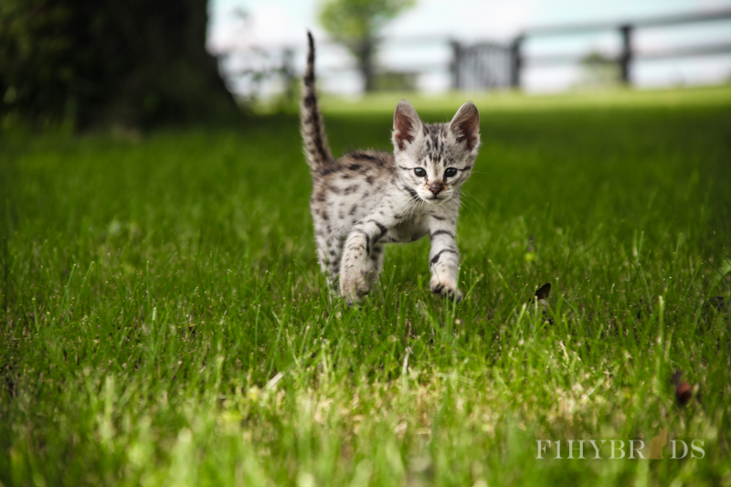 savannah-kittens-216.jpg