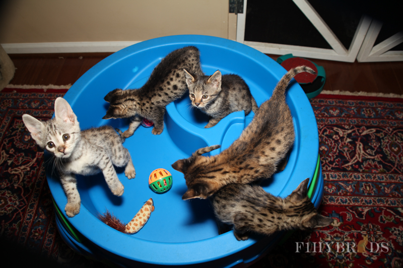 savannah-kittens-239.jpg