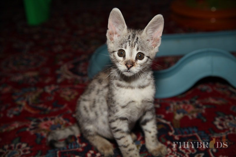savannah-kittens-246.jpg