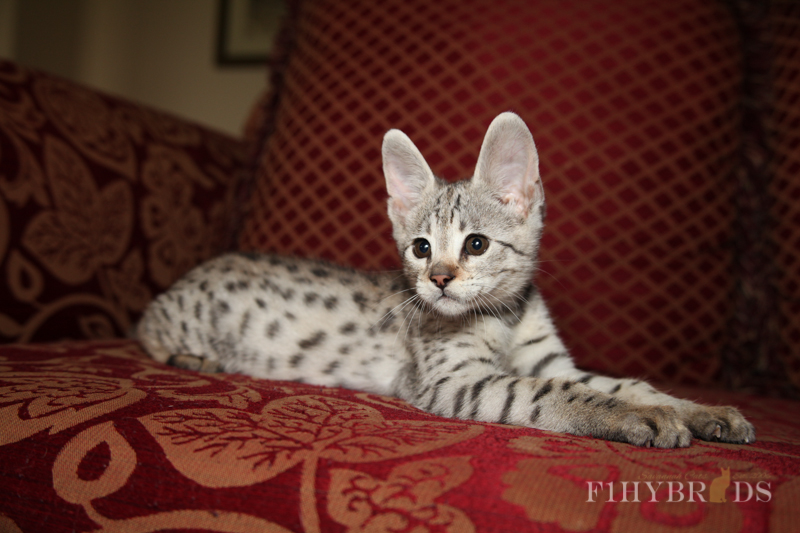 savannah-kittens-278.jpg