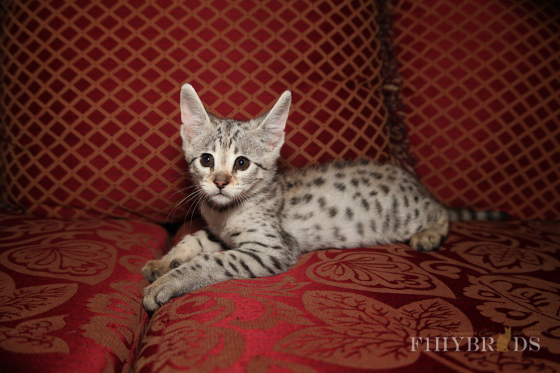 savannah-kittens-284.jpg