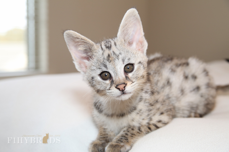 WOW, amzing face photo of F1 Savannah Kitten.