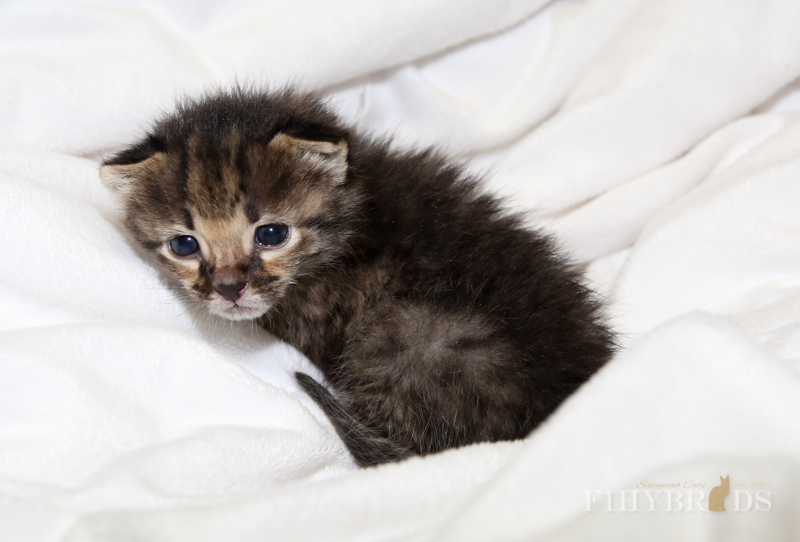 kopi-kitten-5litter-6.jpg