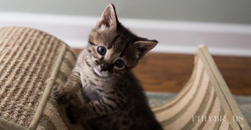kopi-kitten-5litter.jpg