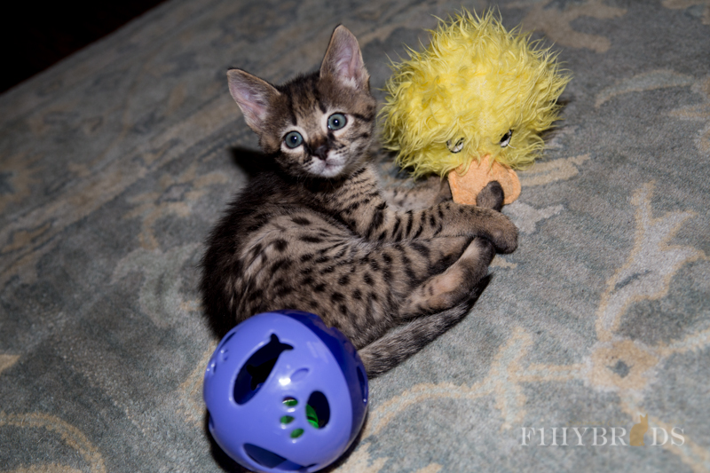kopi-f2-savannah-kittens-#5-8.jpg