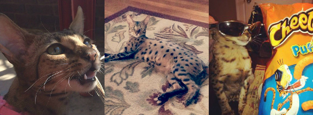 yaya f2 savannah cat