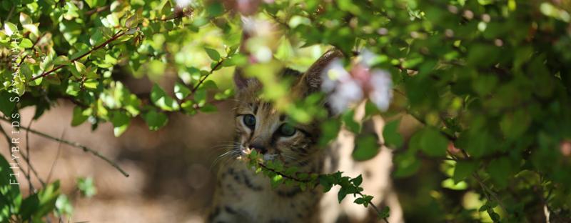 spicy-f2-savannah-kitten-21.jpg