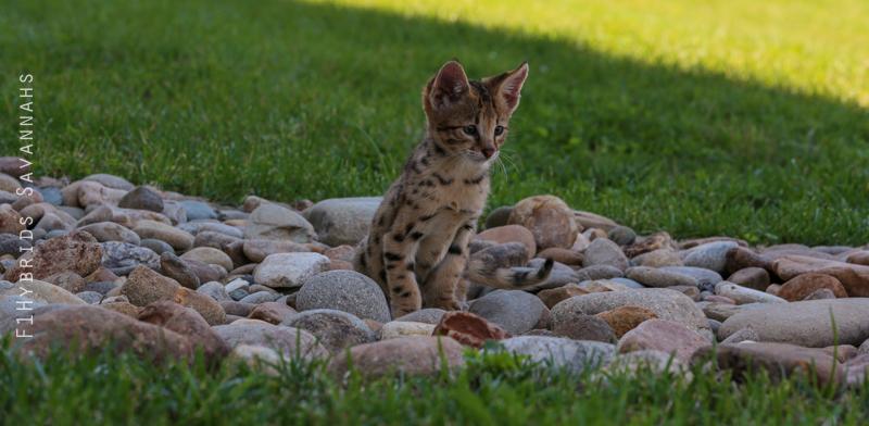 spicy-f2-savannah-kitten-22.jpg