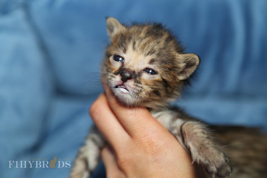 savannah-kittens-10.jpg