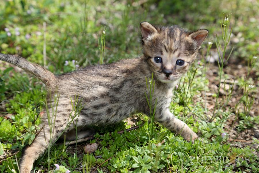 savannah-kittens-11.jpg